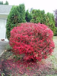 dwarf burning bush perfect for awkward space between driveway