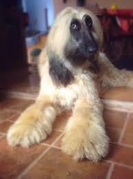 afghan hound grooming styles afghan hound animals pinterest afghan hound afghans and dog