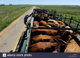 meat cattle stock photos u0026 meat cattle stock images alamy