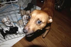 boxer dog rescue florida satchel u0027s last resort