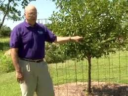 protect fruit trees from deer