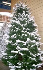 lightly flocked christmas tree lightly flocked christmas trees flocked christmas trees happy