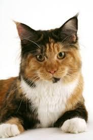 gatti persiani bianchi il colore pelo rivela il carattere gatto