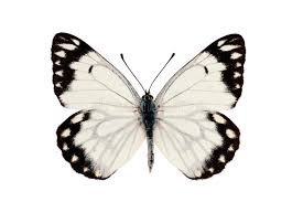 caper white butterfly stock image image of belenois 18265017