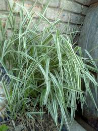 ornamental grass tiger stripe invasive my gardens
