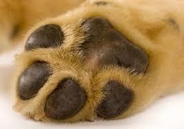 boxer dog feet dog paw cancer cuteness