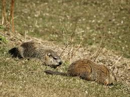 file mated groundhogs female left male right dsc04443 jpg