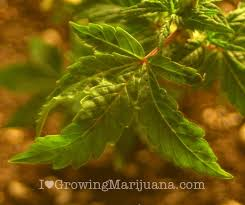 Recovering Cannabis Plants From High by When And How To Water Marijuana Plants The Weed Blog