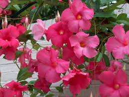 try a mandevilla this spring u2013 growing together with don kinzler