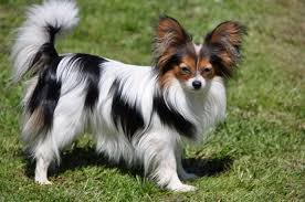 papillon history personality appearance health and pictures