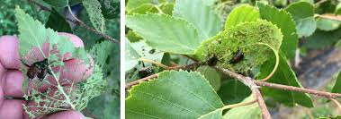 Purple Leaf Peach Tree by Everything You Need To Know About Japanese Beetles Bower U0026 Branch