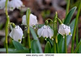 Snowflake Flower - leucojum vernum spring flower flowers flowering bloom spring stock