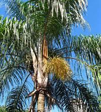 Palm Trees Fruit - queen palm tree syagrus romanzoffiana