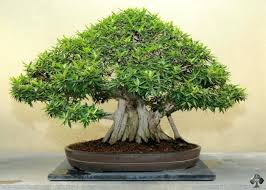 indoor bonsai tree tea indoor bonsai tree with curved trunk indoor