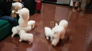 bichon frise breed standard cute bichon frise puppies and big family youtube