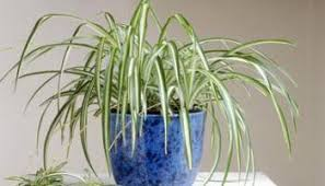 10 house plants that will purify the air in your home bless my weeds