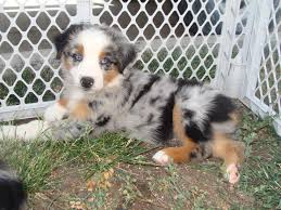 3 4 australian shepherd 1 4 blue heeler meet our previous puppies dobson dogs u2013 australian shepherd dog