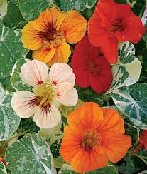 nasturtium flowers alaska mix nasturtium seeds and plants annual flower garden at
