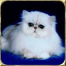 gatti persiani bianchi persiani anfi liguria gatti in liguria