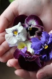 975 best violets and pansies images on pinterest pansies