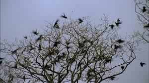 blackbird flock of birds flying away great britain hd stock