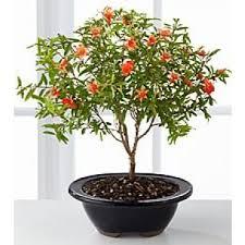 top 5 selling bonsai trees