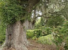 large live oak trees and beautiful plants are part of the famous