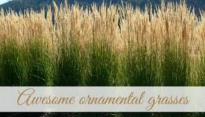 awesome ornamental grasses bylands nurseries ltd