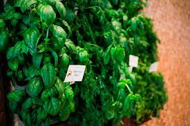 epicurean u0027s edible garden herb walls epicurean hotel epicurean hotel