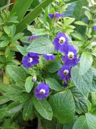 sapphire flower information u2013 care of browallia sapphire flowers