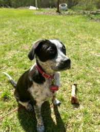 incrocio border collie x australian shepherd i found 42044 peppy rescue only on bestiame incrocio di collie