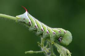 Plant Pests And Diseases - crop tomato hornworm 2 jpeg