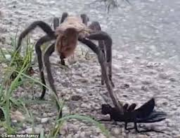 I Tried Killing A Spider - giant tarantula filmed trying to fight off a wasp daily mail online
