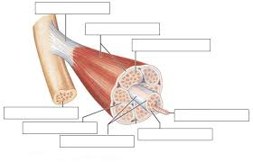muscles of the body worksheet human anatomy chart