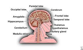 Human Brain Mapping Labelled Diagram Of The Brain Download Wiring Diagram