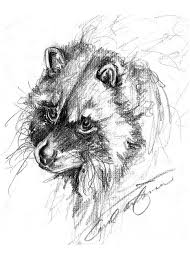 meditative raccoon drawing by carol allen anfinsen