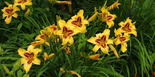 day lillies daylilies easy to grow and maintain extension daily
