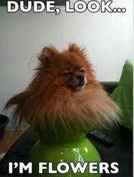 Pomeranian Meme - lol pomeranian meme gbcn