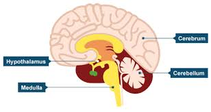 Which Part Of The Brain Consists Of Two Hemispheres Bbc Intermediate 2 Bitesize Biology Brain And Nervous System