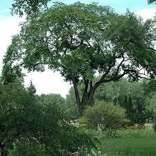ls that look like trees american elm tree seeds ulmus americana 30seeds