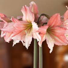amaryllis flower amaryllis tinkerbell amaryllis bulbs from israel easy to grow