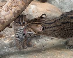 adorable fishing cat born at denver zoo our community now