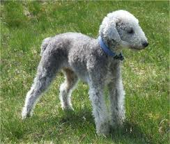 bedlington terrier san antonio bedlington terrier love all dogs big and small pinterest