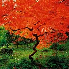 25 dogwood bush ideas red twig dogwood
