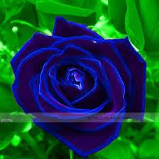 Fragrant Rose Plants - discount fragrant rose plant 2018 fragrant rose plant on sale at