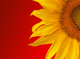 sunflower wallpapers sunflower wallpaper 16054 1600x1200 px hdwallsource com