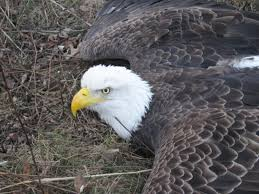 white wolf bald eagle rescued on thanksgiving day