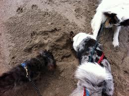 3 legged australian shepherd pet adventure blog cascadian nomads