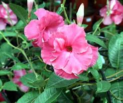 Mandevilla Plant Diseases - how to care mandevilla plant for good growing care for plant