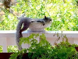Raccoons In Backyard Squirrels U0026 Raccoons Invading Your Bird Baths And Bird Feeders